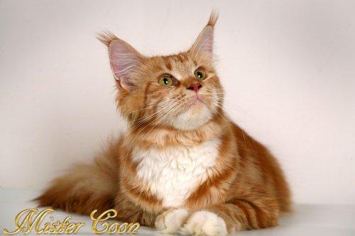 Элит клуб кошек пенза