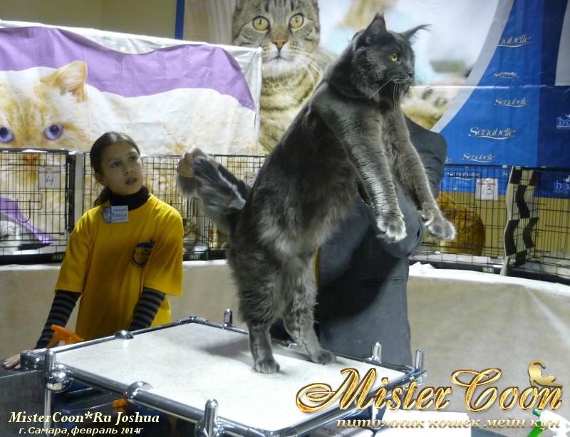 Коты мейн кун размер