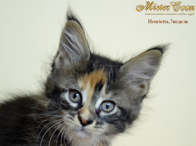 http://mistercoon.ru/images/stories/1SITE/Kitten/2012g/H/Henrietta/7n/Henrietta7n_01.png