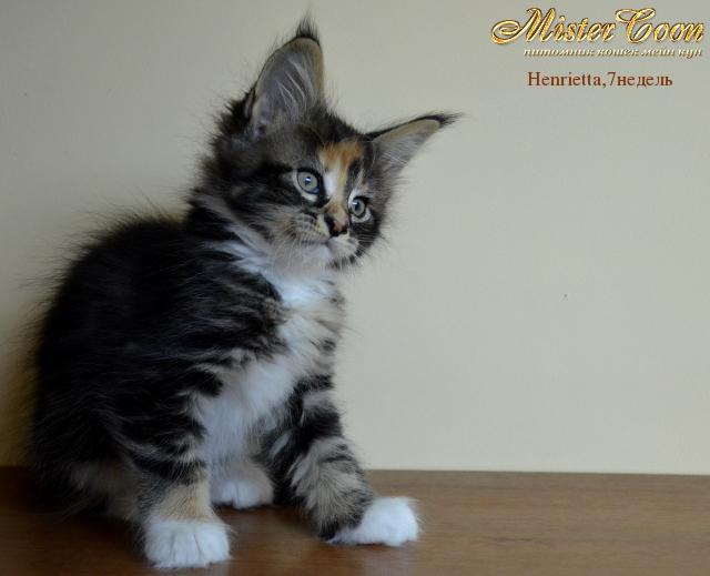 http://mistercoon.ru/images/stories/1SITE/Kitten/2012g/H/Henrietta/7n/Henrietta7n_02.png