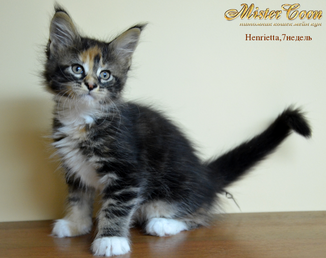 http://mistercoon.ru/images/stories/1SITE/Kitten/2012g/H/Henrietta/7n/Henrietta7n_03.png
