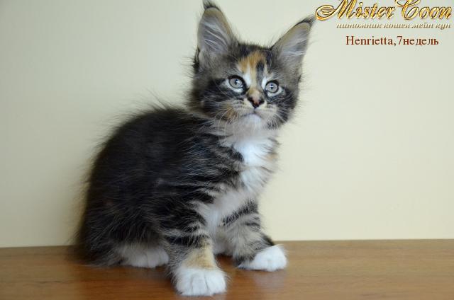 http://mistercoon.ru/images/stories/1SITE/Kitten/2012g/H/Henrietta/7n/Henrietta7n_06.png