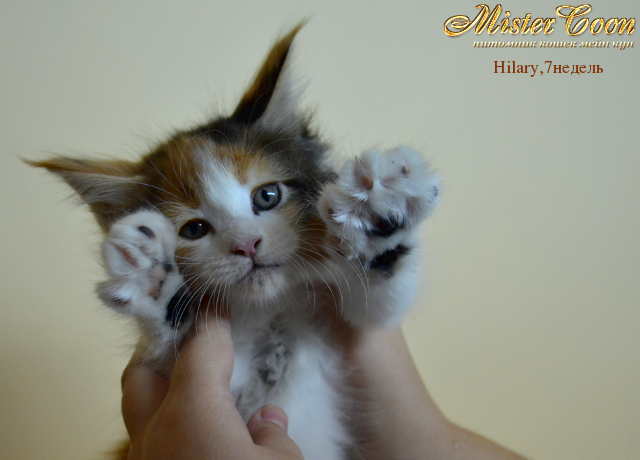 http://mistercoon.ru/images/stories/1SITE/Kitten/2012g/H/Hilary/7n/Hilary7n_04.png
