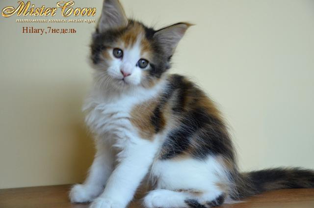 http://mistercoon.ru/images/stories/1SITE/Kitten/2012g/H/Hilary/7n/Hilary7n_07.png