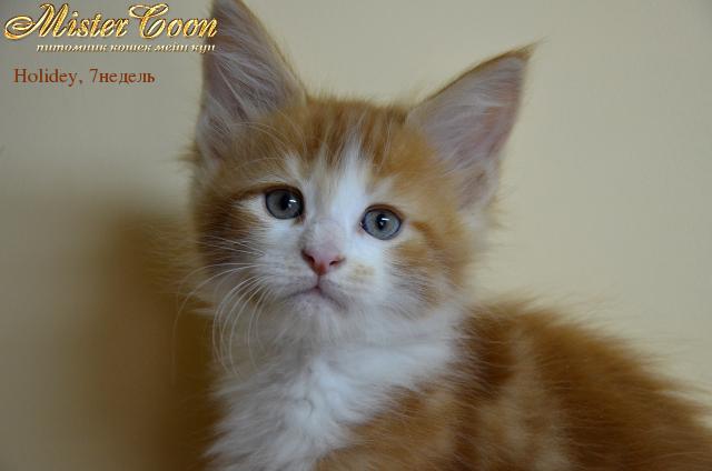 http://mistercoon.ru/images/stories/1SITE/Kitten/2012g/H/Holidey/09.2/Holidey7n_01.png