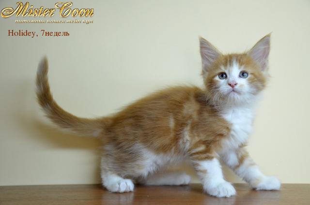 http://mistercoon.ru/images/stories/1SITE/Kitten/2012g/H/Holidey/09.2/Holidey7n_03.png