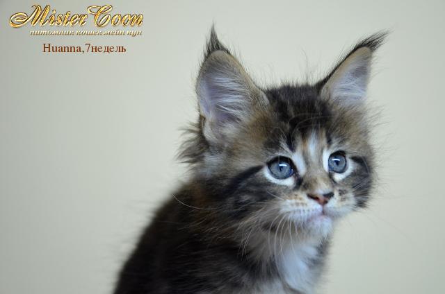 http://mistercoon.ru/images/stories/1SITE/Kitten/2012g/H/Huanna/7n/Huanna7n_01.png