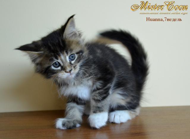 http://mistercoon.ru/images/stories/1SITE/Kitten/2012g/H/Huanna/7n/Huanna7n_04.png