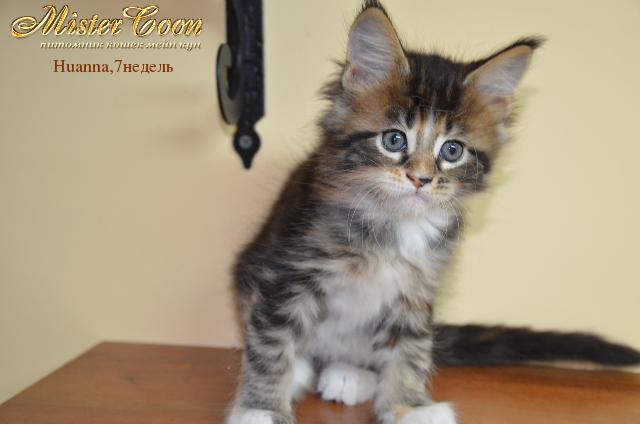 http://mistercoon.ru/images/stories/1SITE/Kitten/2012g/H/Huanna/7n/Huanna7n_05.png