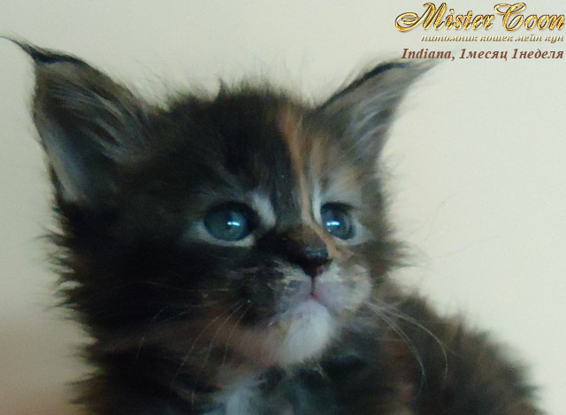 http://mistercoon.ru/images/stories/1SITE/Kitten/2012g/I/Indiana/1m1n/Indiana1m1n_01.jpg