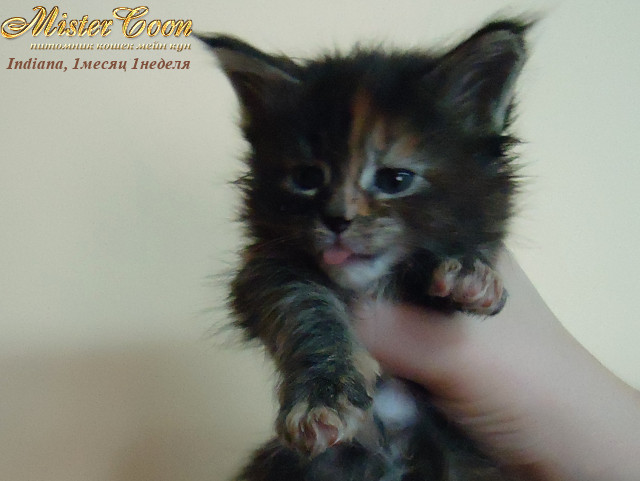 http://mistercoon.ru/images/stories/1SITE/Kitten/2012g/I/Indiana/1m1n/Indiana1m1n_02.jpg