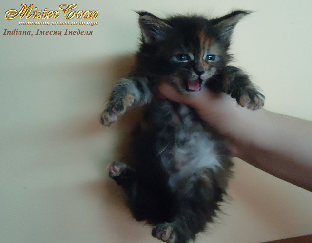 http://mistercoon.ru/images/stories/1SITE/Kitten/2012g/I/Indiana/1m1n/Indiana1m1n_03.jpg