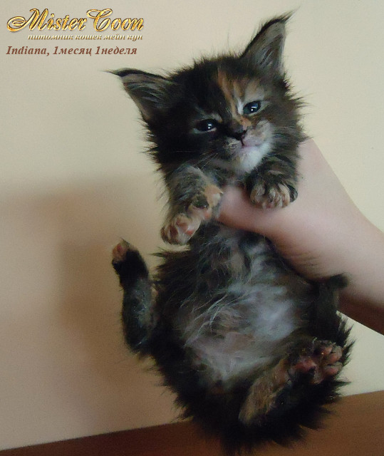http://mistercoon.ru/images/stories/1SITE/Kitten/2012g/I/Indiana/1m1n/Indiana1m1n_04.jpg