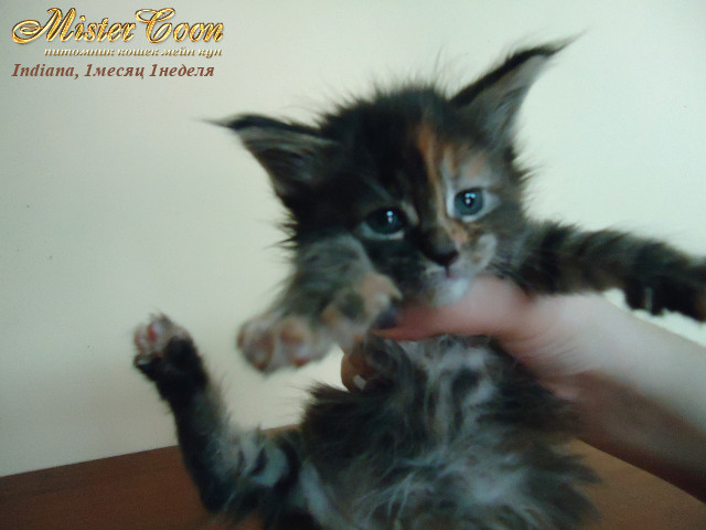 http://mistercoon.ru/images/stories/1SITE/Kitten/2012g/I/Indiana/1m1n/Indiana1m1n_06.jpg