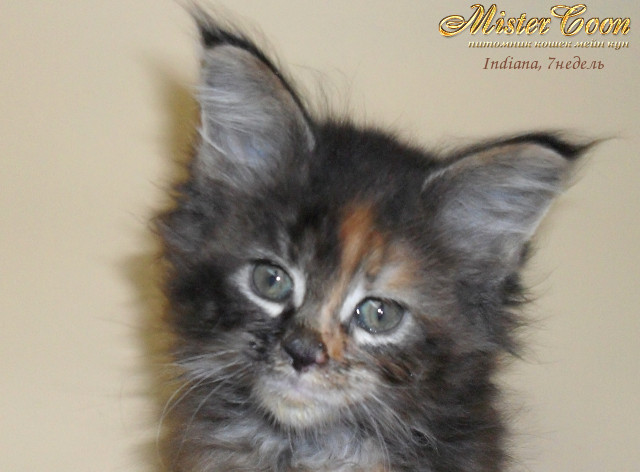 http://mistercoon.ru/images/stories/1SITE/Kitten/2012g/I/Indiana/7n/Indiana7n_01.jpg