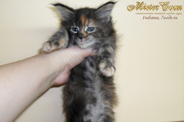 http://mistercoon.ru/images/stories/1SITE/Kitten/2012g/I/Indiana/7n/Indiana7n_02.jpg