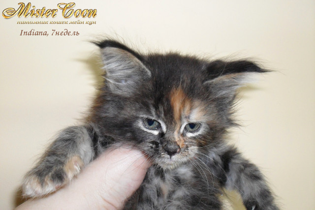 http://mistercoon.ru/images/stories/1SITE/Kitten/2012g/I/Indiana/7n/Indiana7n_04.jpg