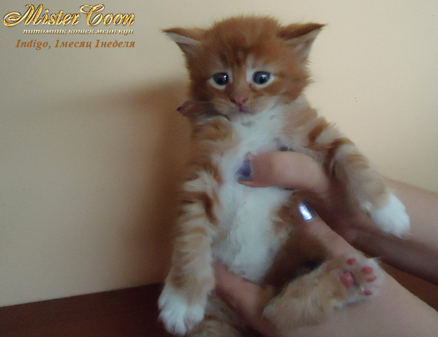 http://mistercoon.ru/images/stories/1SITE/Kitten/2012g/I/Indigo/1m1n/Indigo1m1n_02.jpg