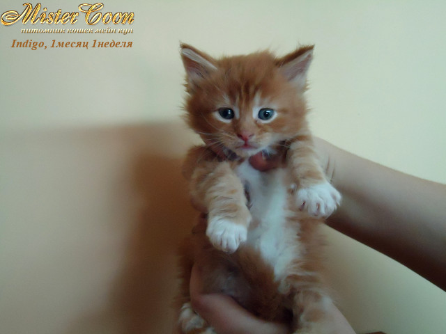 http://mistercoon.ru/images/stories/1SITE/Kitten/2012g/I/Indigo/1m1n/Indigo1m1n_03.jpg