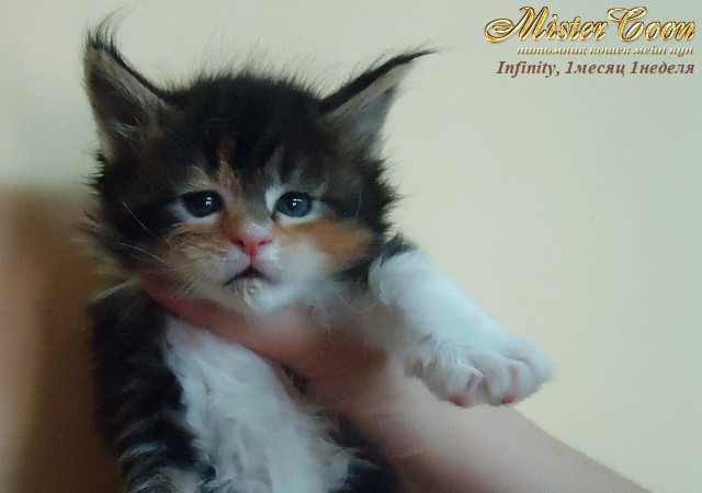 http://mistercoon.ru/images/stories/1SITE/Kitten/2012g/I/Infinity/1m1n/Infinity1m1n_01.jpg