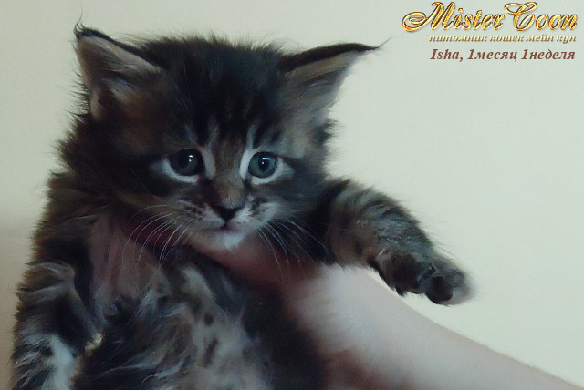 http://mistercoon.ru/images/stories/1SITE/Kitten/2012g/I/Isha/1m1n/Isha1m1n_01.jpg