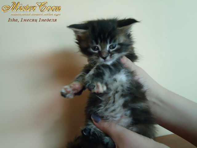 http://mistercoon.ru/images/stories/1SITE/Kitten/2012g/I/Isha/1m1n/Isha1m1n_02.jpg