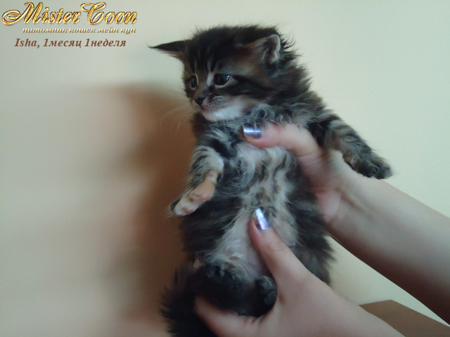 http://mistercoon.ru/images/stories/1SITE/Kitten/2012g/I/Isha/1m1n/Isha1m1n_03.jpg