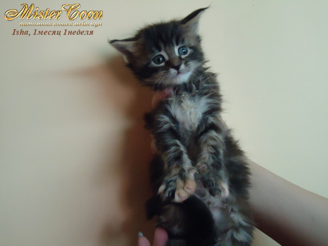 http://mistercoon.ru/images/stories/1SITE/Kitten/2012g/I/Isha/1m1n/Isha1m1n_05.jpg
