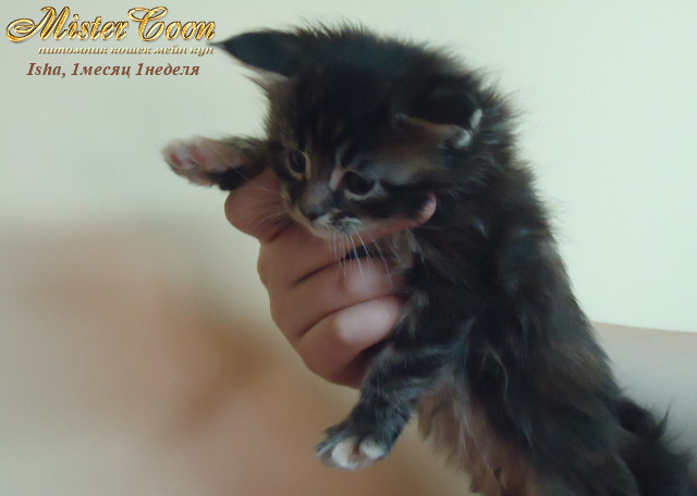 http://mistercoon.ru/images/stories/1SITE/Kitten/2012g/I/Isha/1m1n/Isha1m1n_06.jpg