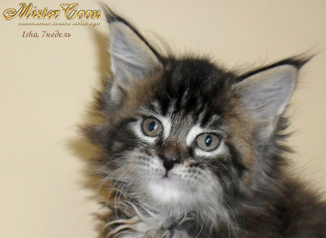 http://mistercoon.ru/images/stories/1SITE/Kitten/2012g/I/Isha/7n/Isha7n_01.jpg