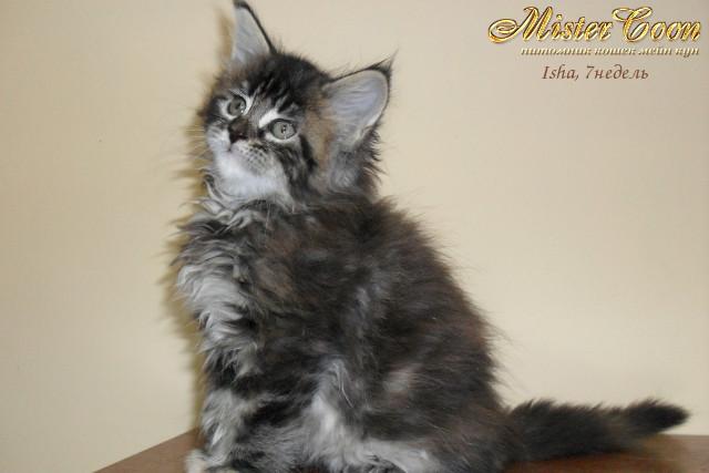 http://mistercoon.ru/images/stories/1SITE/Kitten/2012g/I/Isha/7n/Isha7n_02.jpg