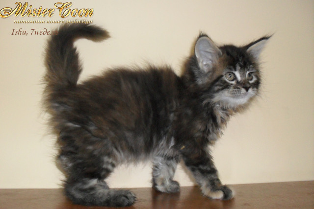 http://mistercoon.ru/images/stories/1SITE/Kitten/2012g/I/Isha/7n/Isha7n_03.jpg
