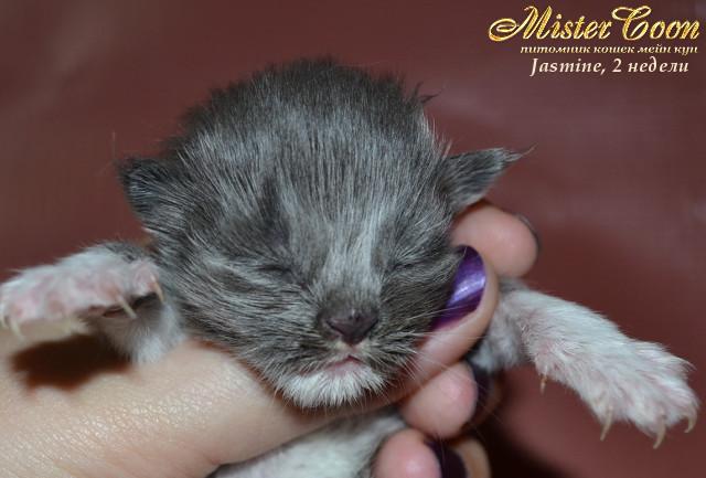 http://mistercoon.ru/images/stories/1SITE/Kitten/2013g/J/Jasmine/2/Jasmine2n_01.jpg