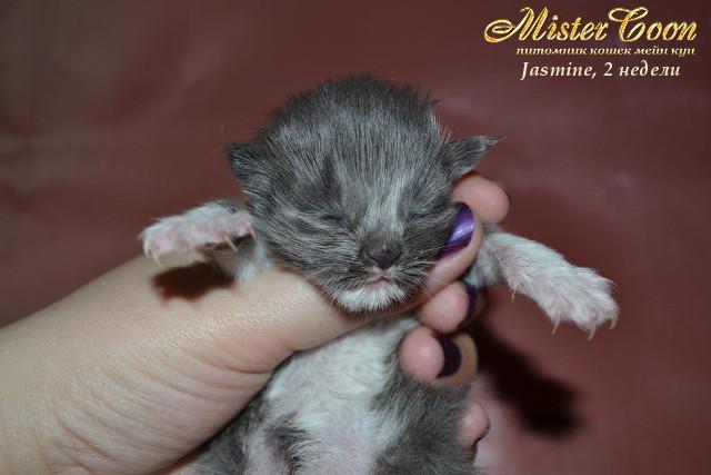 http://mistercoon.ru/images/stories/1SITE/Kitten/2013g/J/Jasmine/2/Jasmine2n_04.jpg