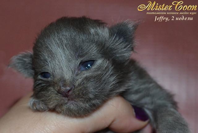 http://mistercoon.ru/images/stories/1SITE/Kitten/2013g/J/Jeffry/2/Jeffry2n_01.jpg