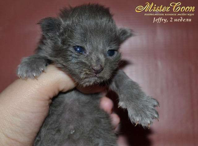 http://mistercoon.ru/images/stories/1SITE/Kitten/2013g/J/Jeffry/2/Jeffry2n_02.jpg
