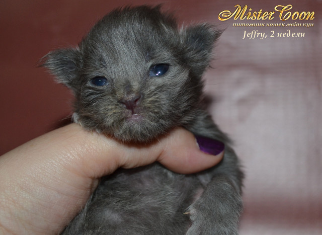 http://mistercoon.ru/images/stories/1SITE/Kitten/2013g/J/Jeffry/2/Jeffry2n_05.jpg