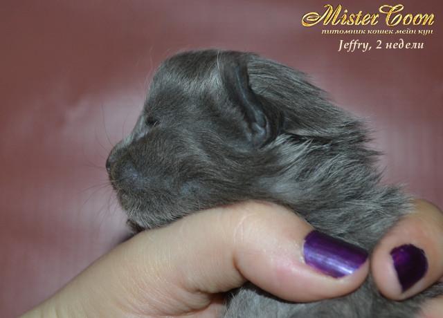 http://mistercoon.ru/images/stories/1SITE/Kitten/2013g/J/Jeffry/2/Jeffry2n_06.jpg