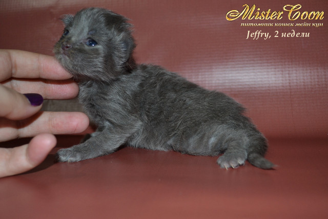 http://mistercoon.ru/images/stories/1SITE/Kitten/2013g/J/Jeffry/2/Jeffry2n_07.jpg
