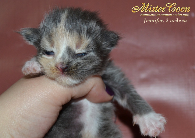 http://mistercoon.ru/images/stories/1SITE/Kitten/2013g/J/Jennifer/2/Jennifer2n_02.jpg