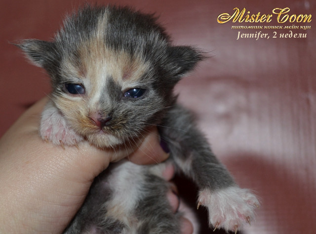 http://mistercoon.ru/images/stories/1SITE/Kitten/2013g/J/Jennifer/2/Jennifer2n_03.jpg
