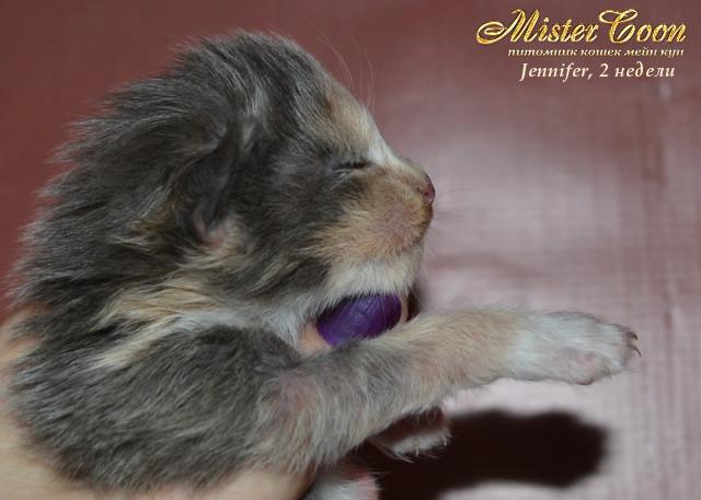 http://mistercoon.ru/images/stories/1SITE/Kitten/2013g/J/Jennifer/2/Jennifer2n_05.jpg