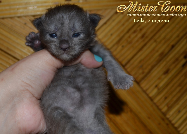 http://mistercoon.ru/images/stories/1SITE/Kitten/2013g/L/Leila/01/Leila2n_03.jpg