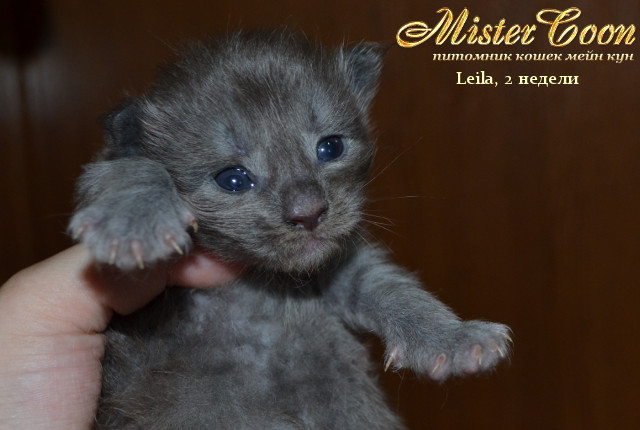 http://mistercoon.ru/images/stories/1SITE/Kitten/2013g/L/Leila/01/Leila2n_06.jpg