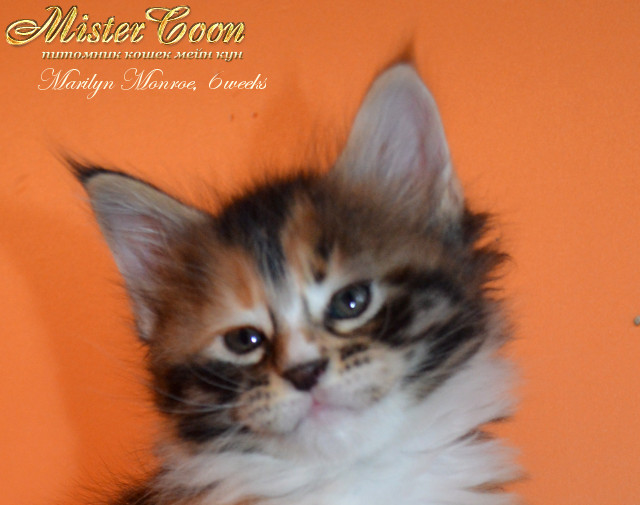 http://mistercoon.ru/images/stories/1SITE/Kitten/2013g/M/04/Marilyn6w_01.jpg