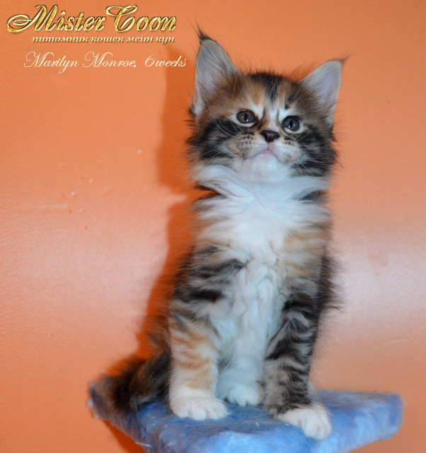 http://mistercoon.ru/images/stories/1SITE/Kitten/2013g/M/04/Marilyn6w_02.jpg
