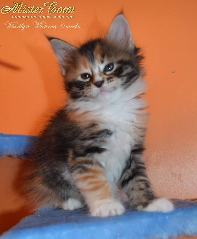 http://mistercoon.ru/images/stories/1SITE/Kitten/2013g/M/04/Marilyn6w_03.jpg