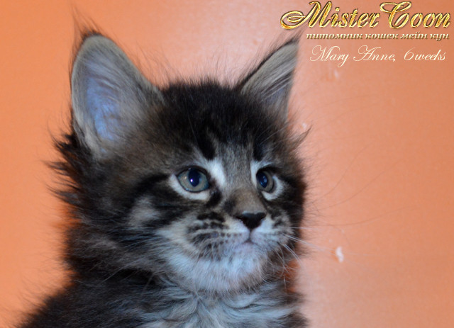 http://mistercoon.ru/images/stories/1SITE/Kitten/2013g/M/04/Mary6w_01.jpg