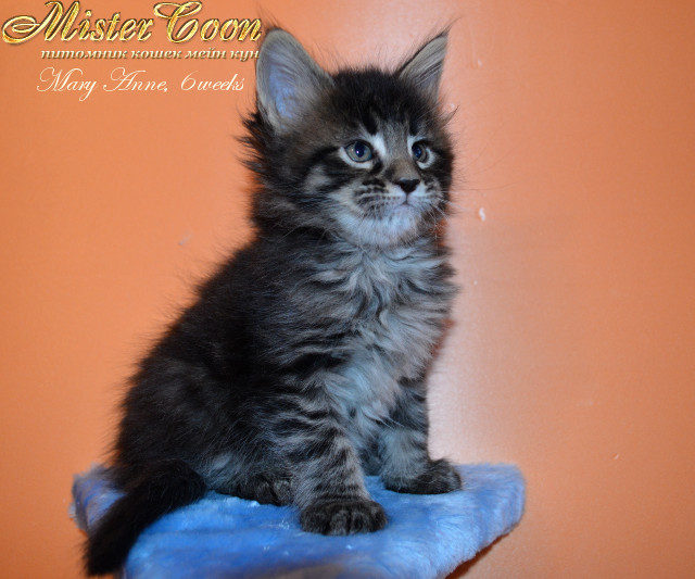 http://mistercoon.ru/images/stories/1SITE/Kitten/2013g/M/04/Mary6w_02.jpg