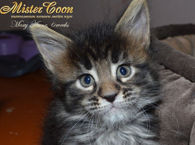 http://mistercoon.ru/images/stories/1SITE/Kitten/2013g/M/04/Mary6w_03.jpg